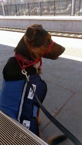 Service Dog in training, Paddington, waits patiently for a train.
