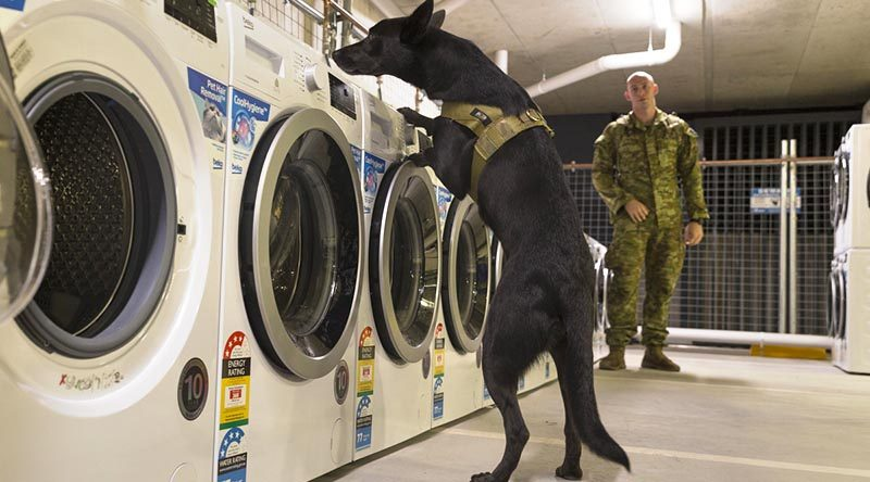 Australian Army Explosive Detection Dog Karma and his handler Sapper Kaegan Summers from the 2nd Combat Engineer Regiment search a Commonwealth Games athlete's village laundry for suspicious items. Photo by Sergeant W Guthrie.