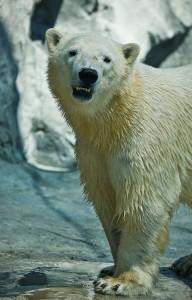 Henry the polar bear