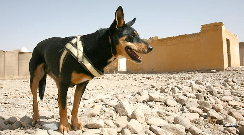 Explosives Detection Dog Sprocket on duty in Tarin not, Afghanistan (2012). Photo by Brian Hartigan.