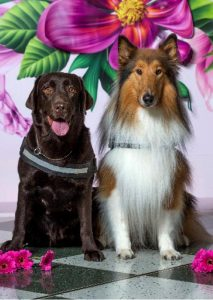 Two beaut Aussie service dogs