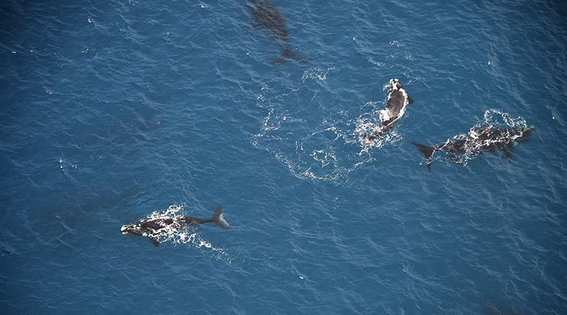 The New Zealand Defence Force recently deployed a Royal New Zealand Air Force P-3K2 Orion aircraft to carry out a census of southern right whales in the New Zealand Sub-Antarctic Islands. More than 100 whales were sighted during the surveillance patrol. NZDF photo.