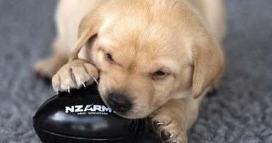 One of six puppies born late last year to New Zealand Defence Force Explosives Detector Dog Iris. NZDF photo.