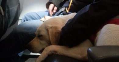 A trained PTSD dog on an airplane with its owner. CSTDA photo.