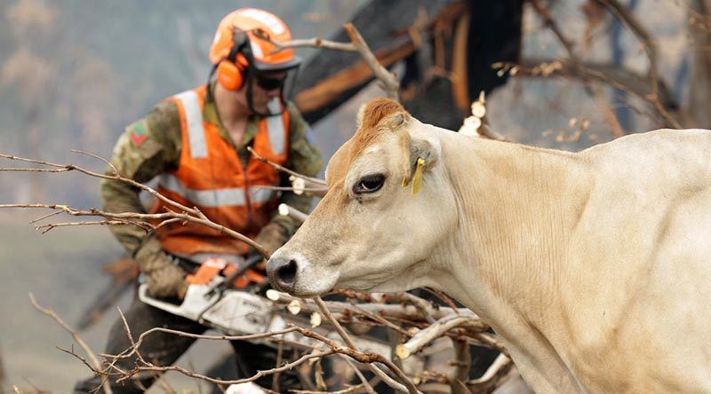 A cow at the dairy farm of Tim Salway, near Cobargo, New South Wales, takes an interest in the work of Australian Army soldier Private Luke Breese of the 2nd/17th Battalion, Royal New South Wales Regiment, as he cuts up a fire-damaged tree. Photo by Sergeant Max Bree.