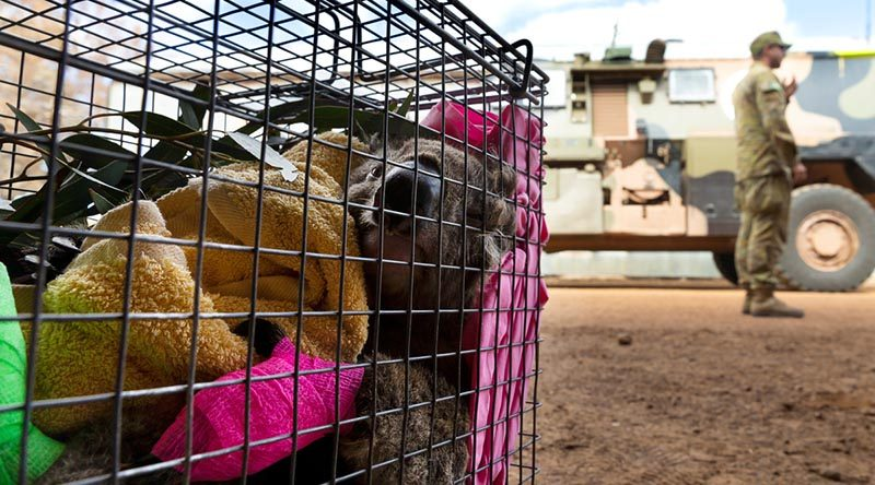 An injured koala rescued by the Australian Army soldiers, New Zealand Army sappers and RSPCA members are transported await veterinary treatment on Kangaroo Island during Operation Bushfire Assist. Photo by Corporal Tristan Kennedy.