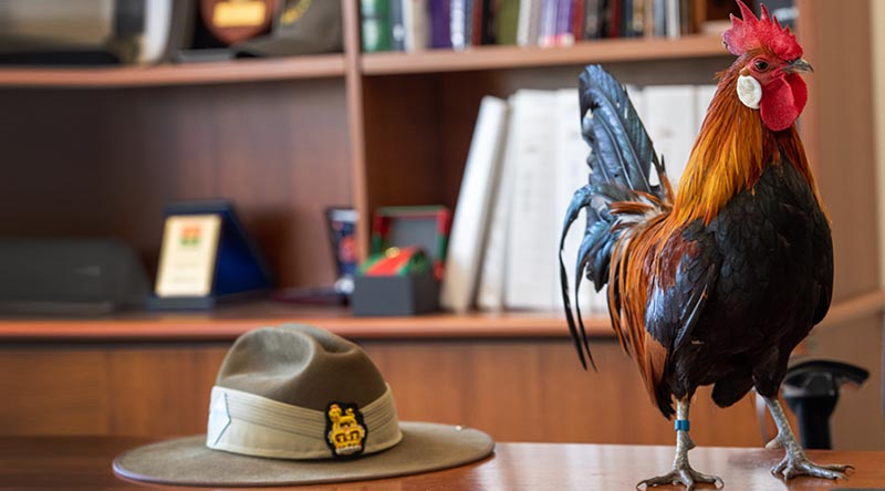 The 7th Combat Signal Regiment's new mascot, Signaller Jimmy the Rooster, inspects the office of Commander 7th Combat Brigade Brigadier Jason Blain, during an office call before assuming his formal duties at Gallipoli Barracks, Brisbane. Photo by Trooper Jonathan Goedhart.